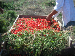 Produzione pomodori