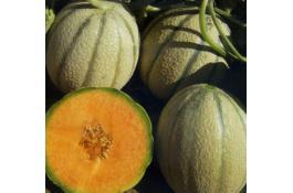 Sementi per melone ibrido