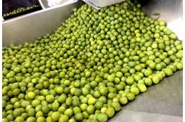 Le olive verdi dolci Nocellara del Belice