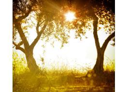 Piante di ulivo secolari e bonsai
