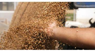 Produzione farine per uso professionale: macinazione grano