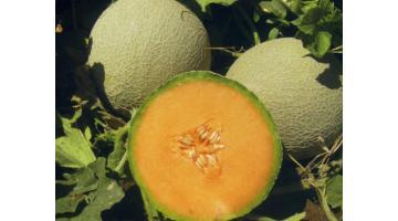 Sementi per melone ibrido italiano