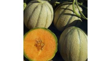 Sementi per melone retato