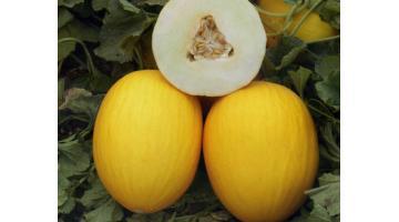 Sementi per melone semirugoso
