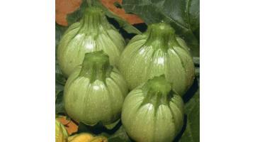 Sementi per zucchino tondo