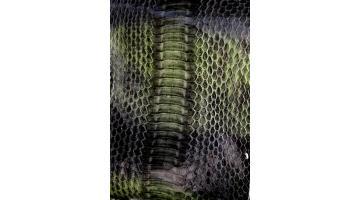 Serpente Elaphe radiata
