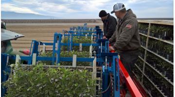 Trapiantatrice automatica per produzione industriale di pomodoro