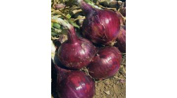 Sementi per cipolla ibrida semine primaverili
