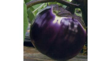 Sementi per melanzana violetta