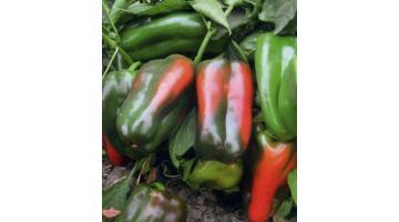 Sementi per peperone mezzo lungo rosso