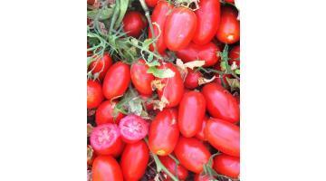 Sementi per pomodori pelati